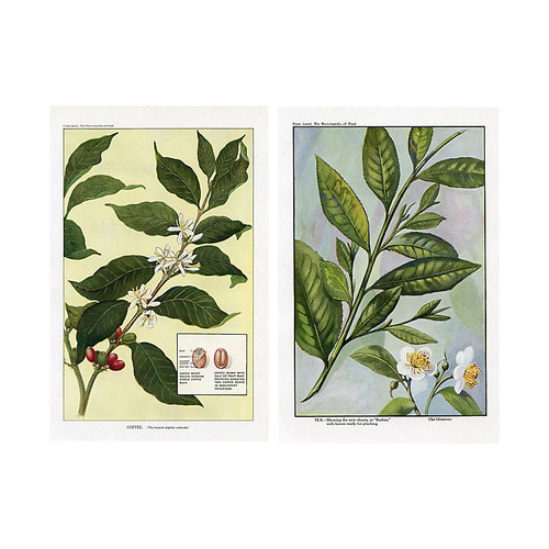 Coffee and Tea Plants, Pair