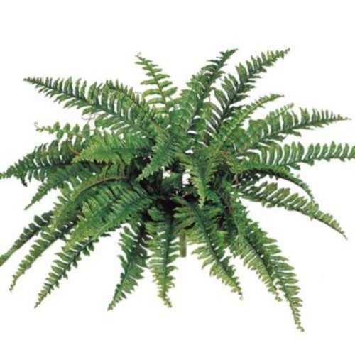 Larksilk Boston Fern (Set of 6)