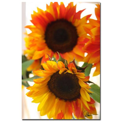 Trademark Global Martha Guerra 'Sunflower VI' 16