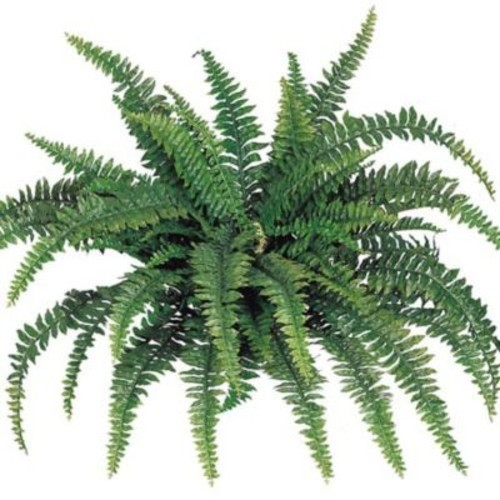 Larksilk Boston Fern (Set of 4)