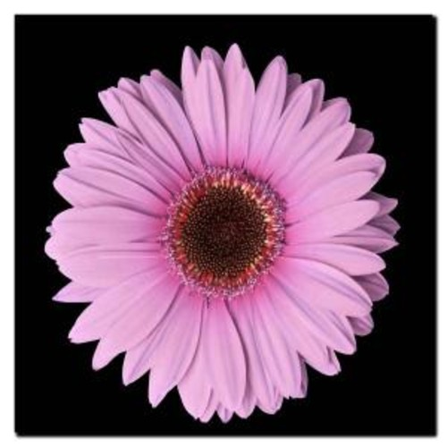 14 in. x 14 in. Pink Gerber Daisy Canvas Art