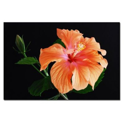 Trademark Fine Art Peach Hibiscus on Black-Kurt Shaffer-Gallery Wrapped 16x24 Inches